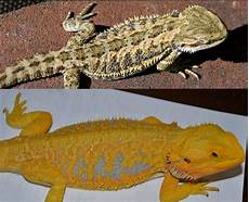 Bearded Dragon Color Chart A Citrus Tiger Bearded Dragon S Color Changes From
