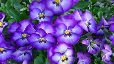 flower wallpaper for desktop free pansies vioetovi flowers desktop wallpaper hd free