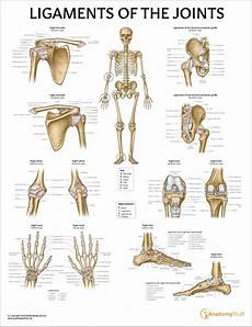 Ligaments Of The Joints Chart Ligament Poster