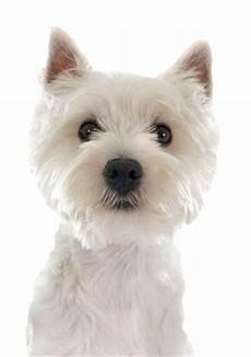 west highland terrier png free west highland terrier png