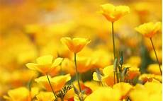 Yellow Flower Wallpaper by Beautiful Yellow Flowers Wallpapers For Iphone Gt Yodobi