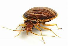 bed bug transparent image png arts