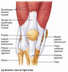 Right Knee Anatomy Flashcards Joints Amp Articulations Structural