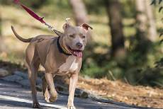Bully Ear Crop Chart The True Purpose Of Ear Cropping In Pit Bulls And Its Pros