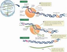 Transcription Biology Prokaryotic Transcription Enzymes Steps Significance