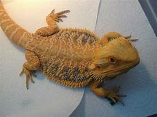 Bearded Dragon Color Chart Bearded Dragon Morphs Colors Amp Patterns