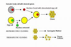 Somatic Cell Nuclear Transfer Somatic Cell Nuclear Transfer Wikipedia