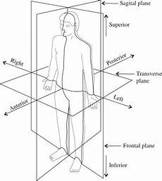Anatomic Chart Anatomy And Physiology I Coursework Anatomical Position