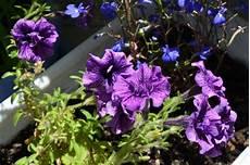 fiori a palla viola fiori viola in anziane fotografia stock immagine di