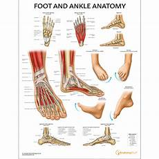 Foot Anatomy Chart Foot And Ankle Anatomy Chart Feet Poster Anatomical Chart