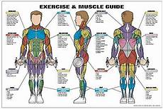 Full Body Anatomy Chart Amazon Com Exercise And Female Muscle Guide Laminated