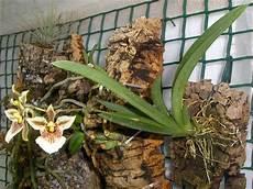 orchidee fiori appassiti orchidee in fiore tolumnia triquetra fioritura inaspettata