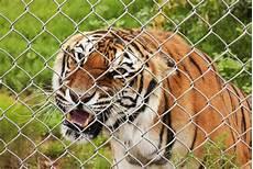 tigre in gabbia una tigre di bengala arrabbiata in una gabbia dello zoo