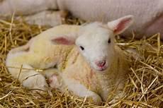 Newborn Lamb Baby Lamb