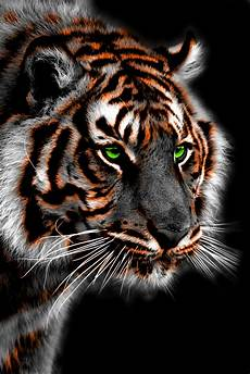 tiger wallpaper iphone 7 tiger iphone wallpapers top free tiger iphone