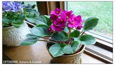 African Violet Lighting Artificial Plant Care Instructions For African Violets