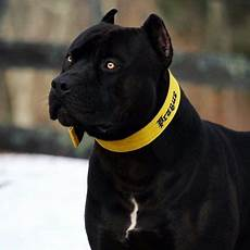 Designer Pitbulls Cost The Truth About The All Black Pitbull Meowlogy