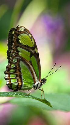 wallpaper iphone free butterfly 30 colorful butterfly wallpapers free to