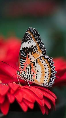 Butterfly Wallpaper For Iphone 6 Plus by Butterfly Iphone Wallpaper Idrop News