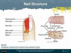 Nail Diagram Ppt Chapter 9 Nail Structure And Growth Powerpoint