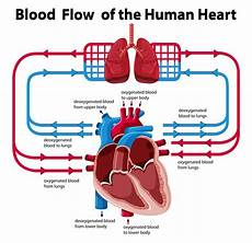 Chart Of Blood Flow Through Heart Chart Showing Blood Flow Of Human Heart Download Free