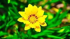 Yellow Flower Wallpaper by Yellow Flowers Wallpaper