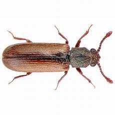 Powderpost Beetle Powder Post Beetle Scare Mississauga Oakville Waterdown