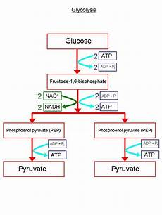 Biochemical Pathway Of Cell Respiration Flow Chart New