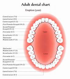 Tooth Number Chart Adults The Purpose Of Teeth Dr Kevin Sands