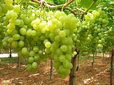 uva da tavola festival internazionale dell uva da tavola pronta l xi