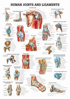 Human Joints And Ligaments Poster Clinical Charts And