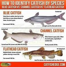 Flathead Catfish Weight Chart Best Catfish Bait The Top 5 Catfish Baits Made Simple