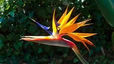fiore uccelli paradiso uccello paradiso sterlitzia foto immagini fiori