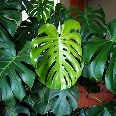 Monstera Deliciosa Light Monstera Deliciosa House Plant Journal House Plant Journal