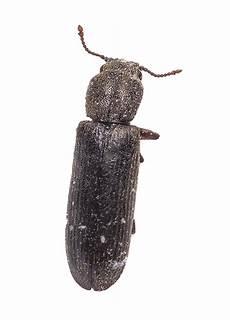 Powderpost Beetle Atlanta Powder Post Beetles Powderpost Beetle Spray U