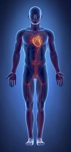 Circulatory System Organs What Are The Organs Of The Cardiovascular System