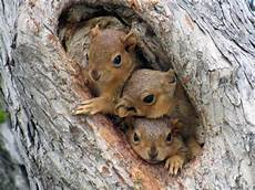 Where Do Squirrels Live Where Do Squirrels Live Detailed Information With Pictures