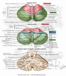 Cerebellum Anatomy Cerebellum