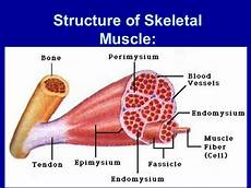 Skeletal Muscle Structure Structure Of Skeletal Muscle