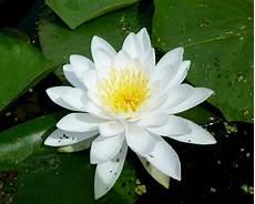 Flor De Lotus Flor De Lotus Significado Cores Como Cuidar Amp Mais