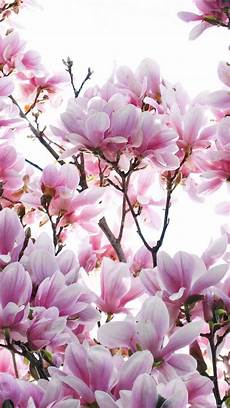 magnolia flowers wallpaper for iphone magnolia flower wallpapers best collection free
