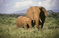 Elephant Printable Information And Facts About Elephant Babies