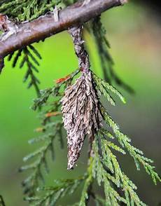 How To Treat Bagworms Master Gardener Bagworm Infestations Are Difficult To