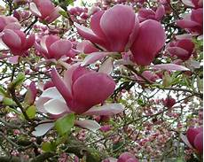 magnolia flowers wallpaper for iphone magnolia tree pink flower wallpaper for desktop 2560x1600