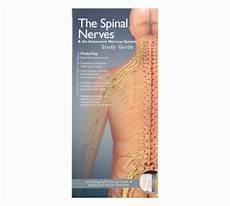 Spinal Nerves And The Autonomic Nervous System Pocket