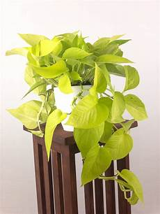 Low Light Pet Safe Indoor Plants Large Neon Pothos Air Purifying Indoor Plant Live