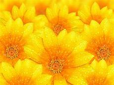 Yellow Flower Wallpaper by 20 Yellow Backgrounds Wallpapers Freecreatives