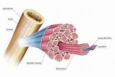 Skeletal Muscle Structure General Structure Of Skeletal Muscle Photograph By