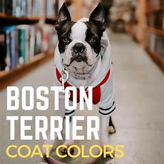 Boston Terrier Colors Chart Boston Terrier Coat Colors All About The Breed Pethelpful