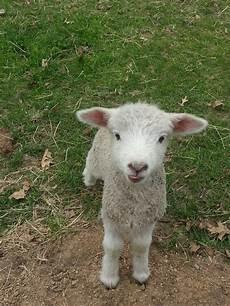 Newborn Lamb Frontier Culture Museum Of Virginia More Baby Lambs